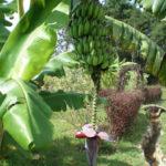 Bananenstaude Ngetschek